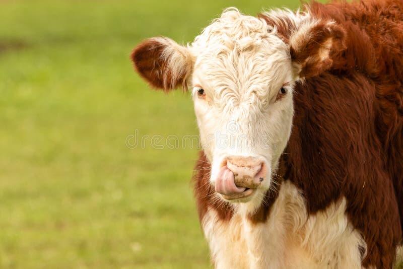 Hereford-Kuh auf dem grünen Gebiet stockbilder