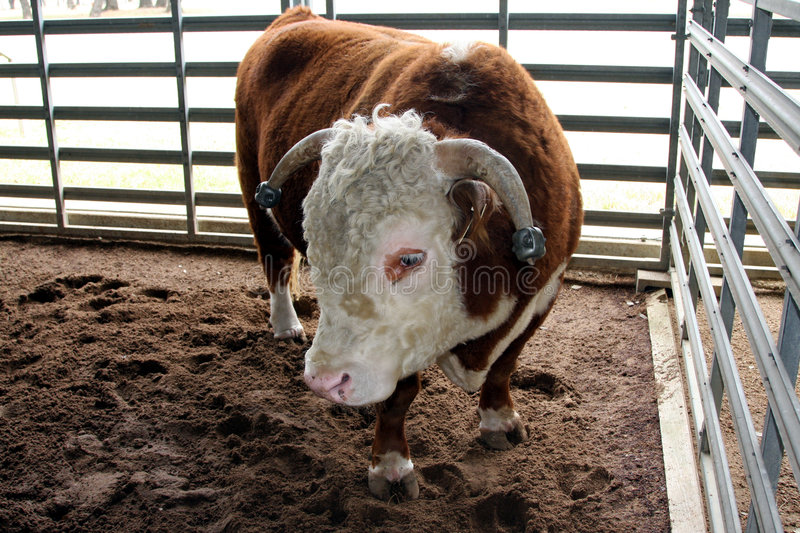 Hereford Prize Bull. A hereford prize stud bull in his pen stock images