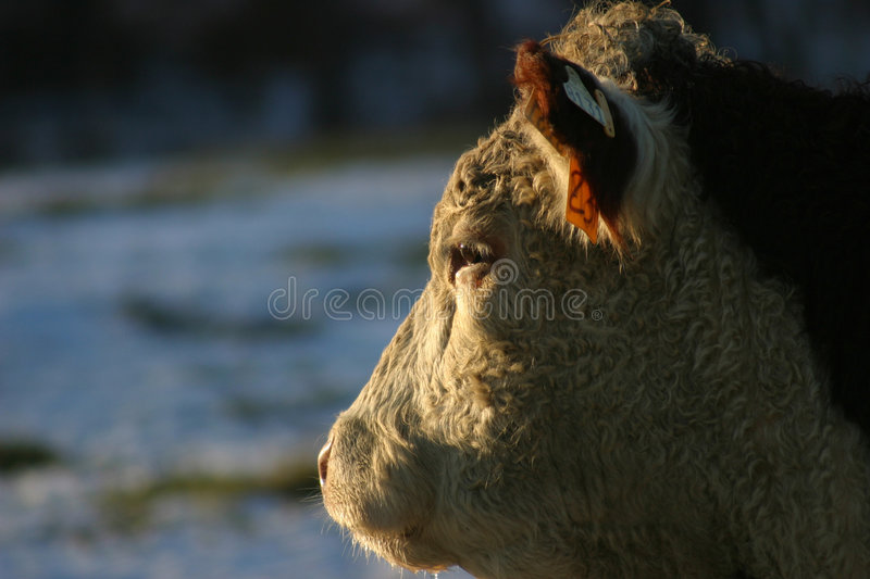 Download Hereford Profile Stock Images - Image: 288934