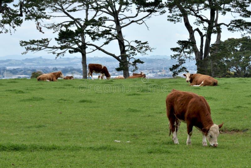 Hereford schüchtert das Weiden lassen auf einer grünen Weide unter einem bewölkten Himmel ein stockbilder