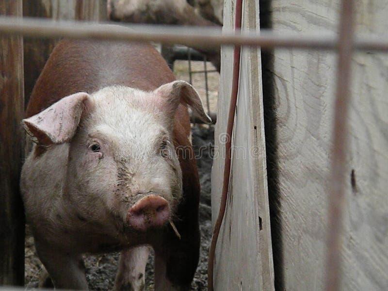 Hereford-Schweine lizenzfreies stockbild