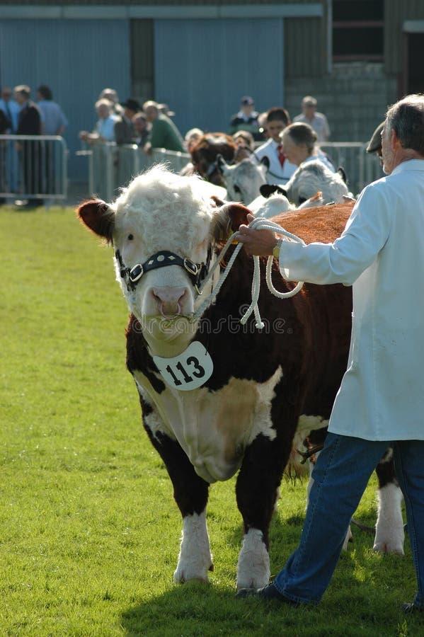 Hereford Stier an einer Grafschaftsshow lizenzfreies stockfoto