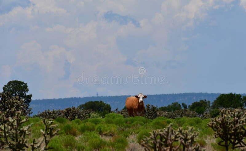 Hereford-Vieh auf einem Gebiet in Texas stockfoto