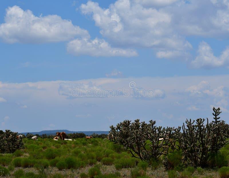Hereford-Vieh auf einem Gebiet in Texas lizenzfreies stockfoto