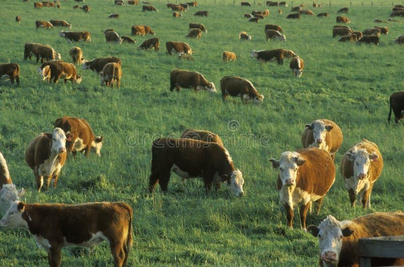 Hereford-Vieh, auf PCH weiden lassen, CA lizenzfreie stockfotos