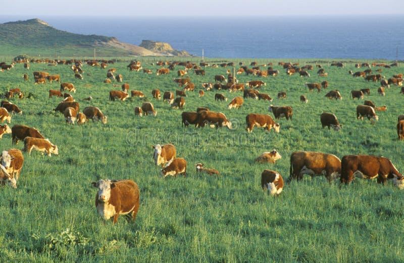 Hereford-Vieh, auf PCH weiden lassen, CA stockfoto