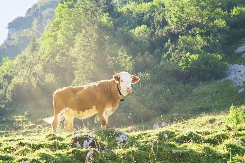 Hereford-Vieh-Fleischrassekuh, die auf alpiner Gebirgssteigung weiden lässt stockfotografie
