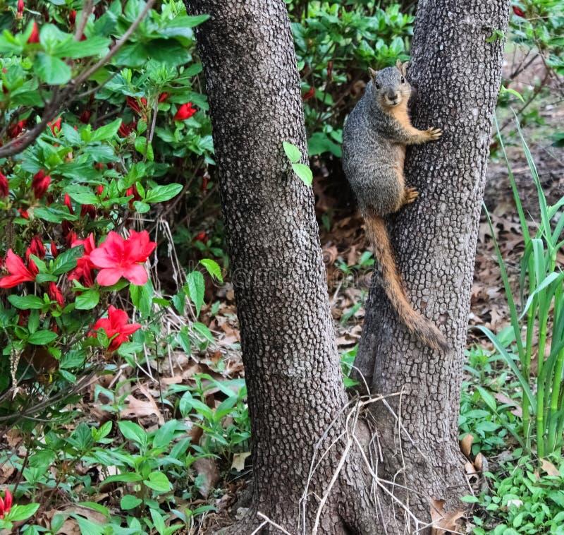 Heres που εξετάζει σας - σκίουρος στον κορμό δέντρων που κοιτάζει επίμονα στη κάμερα μπροστά από τα azeleas στοκ εικόνα με δικαίωμα ελεύθερης χρήσης