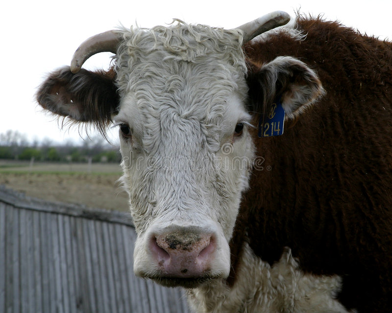 Herford Cow stock image
