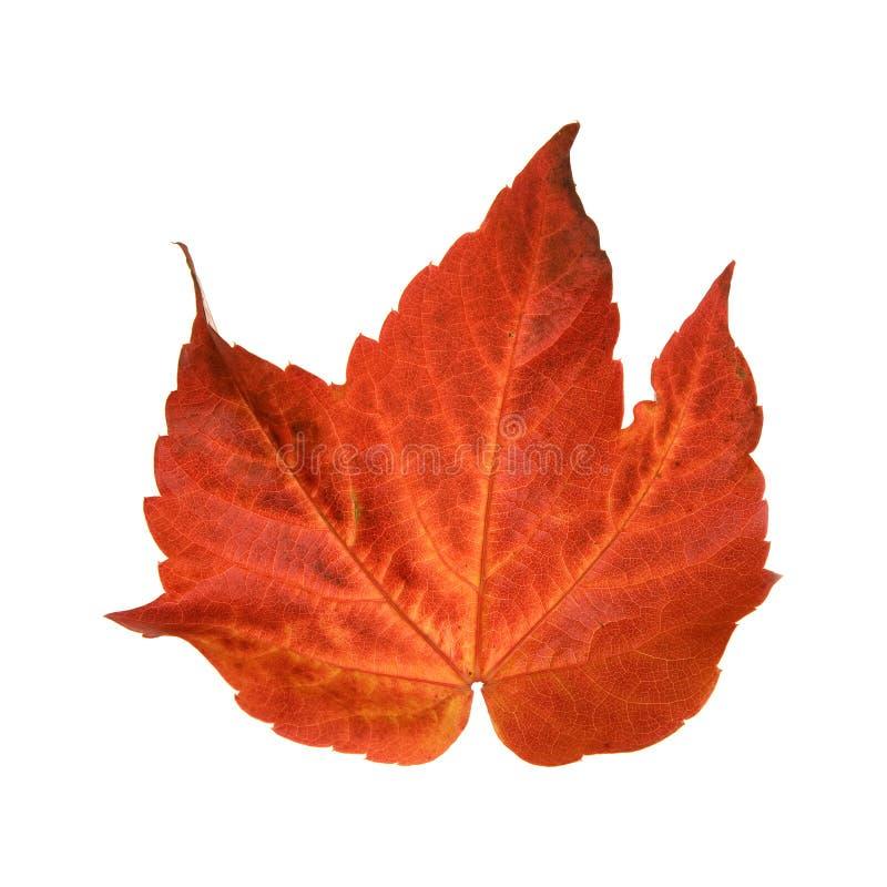 Herfst blad van wilde druif stock foto