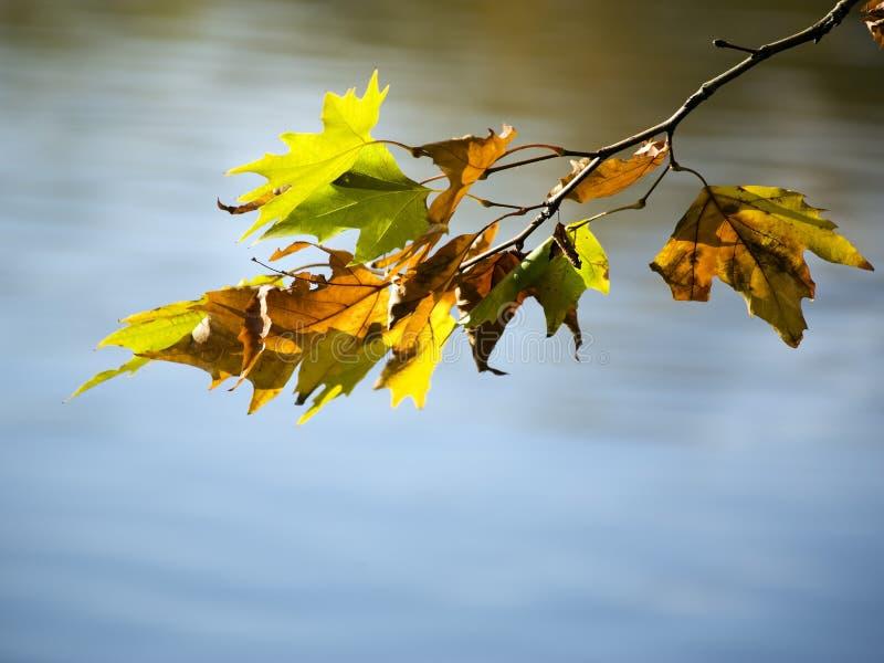 Herfst esdoornbladeren op tak over vijver royalty-vrije stock afbeeldingen