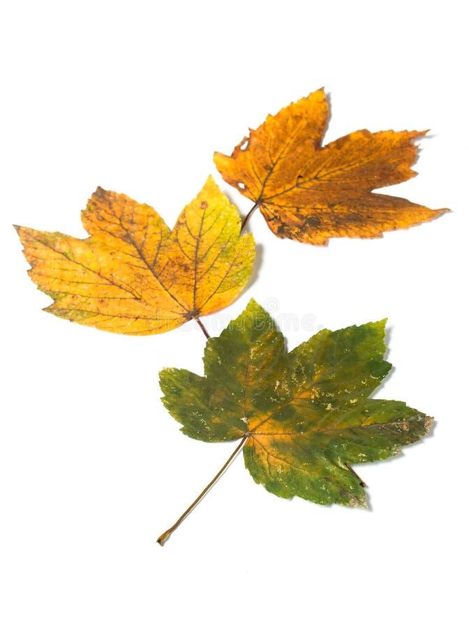 Herfst Italiaanse esdoornbladeren royalty-vrije stock foto's