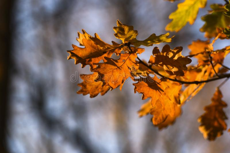 Herfst rode eiken bladeren stock foto