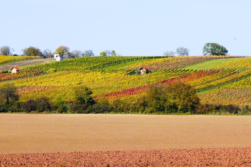 Herfst wijngaarden stock foto
