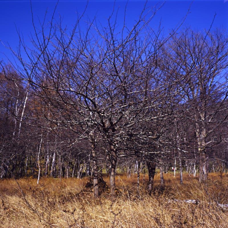 Herfst wild-pruimbomen royalty-vrije stock afbeelding