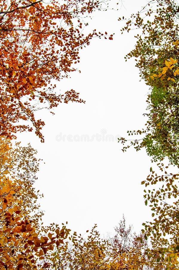 Herfstdiegebladertekader op een witte achtergrond wordt geïsoleerd - gemeenschappelijke beuk stock fotografie