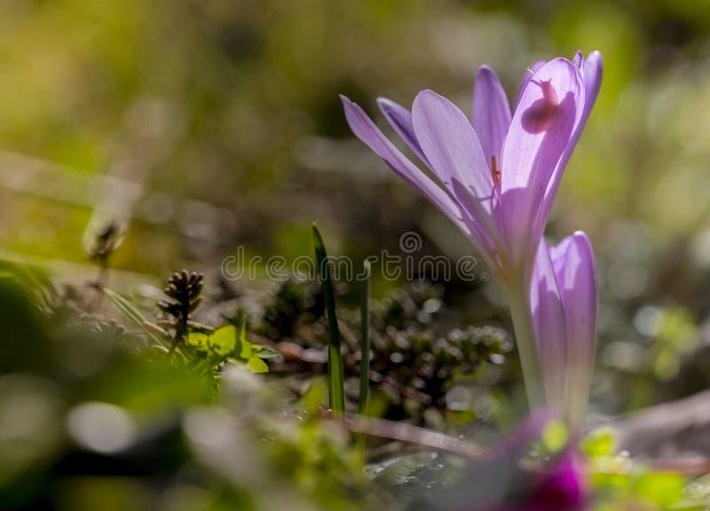Herfsttijloos, Herfsttijloos, Colchicum autumnale stock foto's