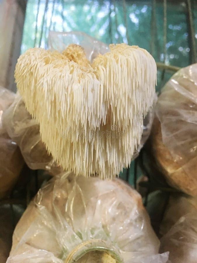 Hericium猬属蘑菇猴子顶头蘑菇,有胡子的牙真菌,有胡子的猬蘑菇,pom pom,狮子的鬃毛蘑菇 库存照片