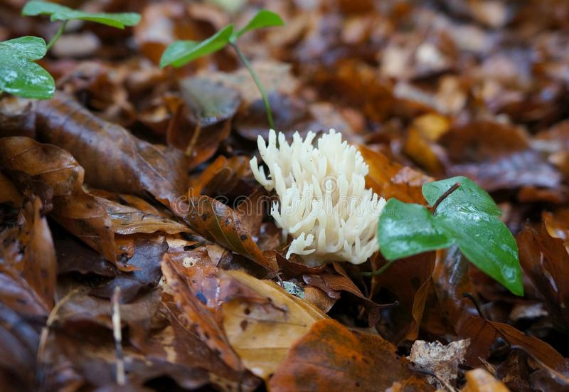 Hericium coralloides mushroom. Hericium coralloides also known as coral tooth fungus stock images