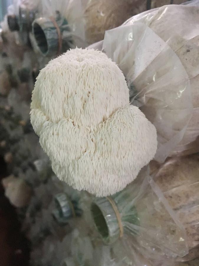 Free Hericium Erinaceus Mushroom Monkey Head Mushroom, Bearded Tooth Fungus, Bearded Hedgehog Mushroom, Pom Pom, Lion`s Mane Mushroom Royalty Free Stock Photo - 148312515