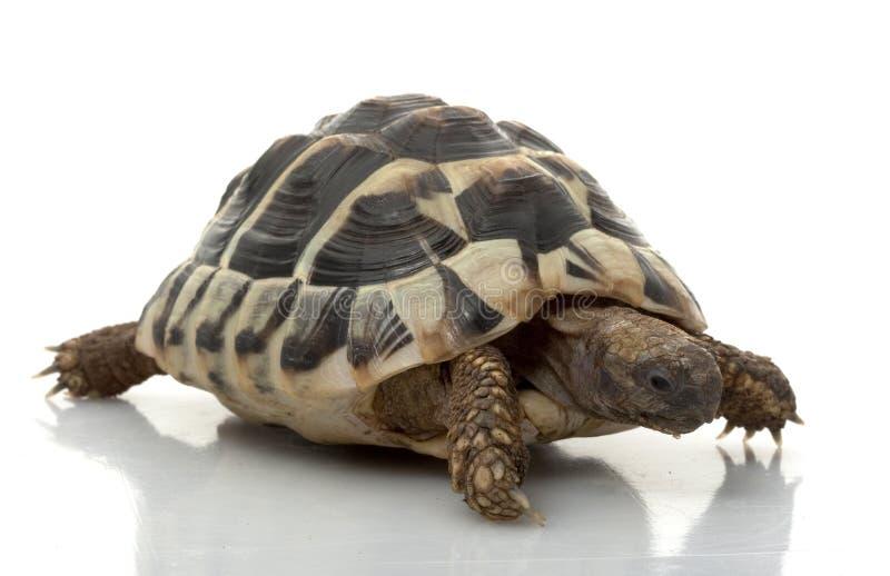 Herman?s Schildkröte lizenzfreies stockfoto
