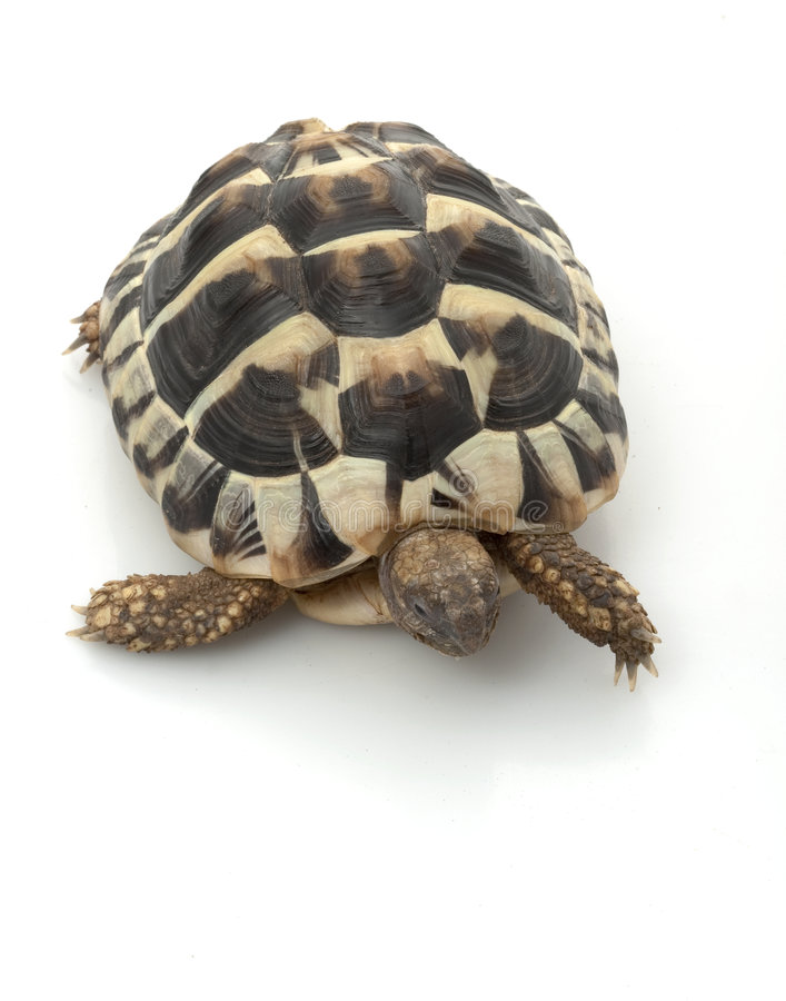 Free Herman�s Tortoise Stock Photography - 7890822