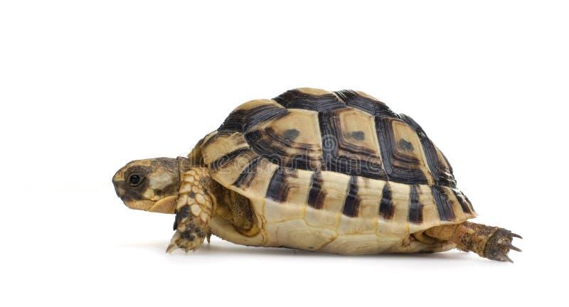 Herman's Tortoise - Testudo hermanni royalty free stock photography