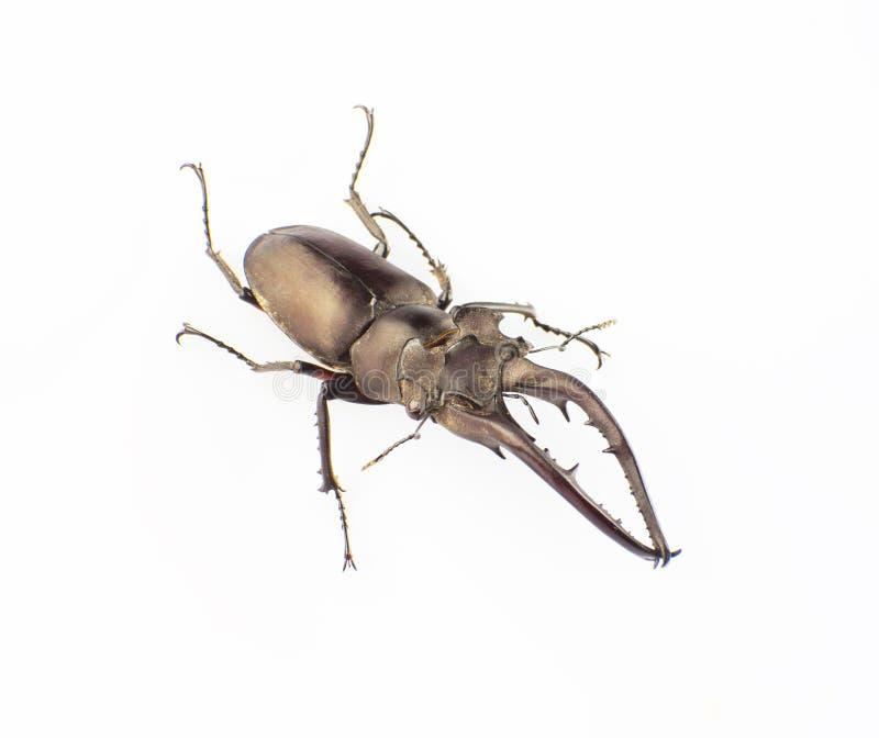 Download Hermani Delisle Van Lucanus Stock Foto - Afbeelding bestaande uit insecten, wild: 29500532