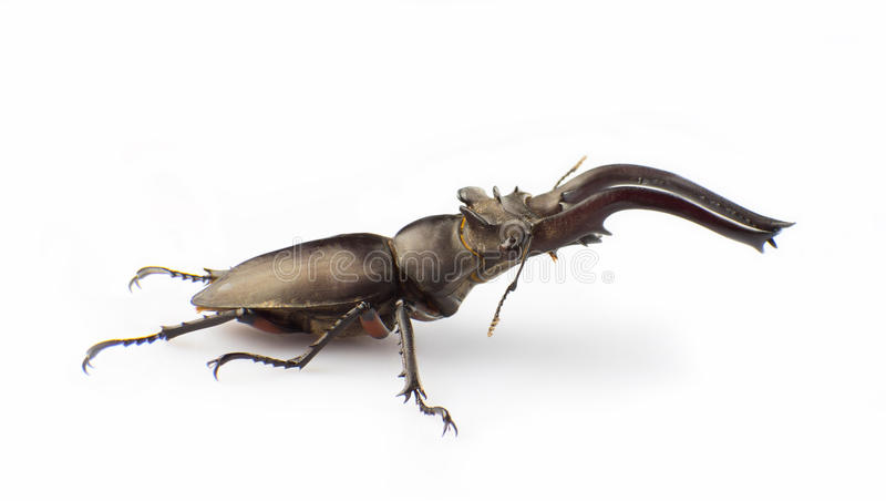 Download Hermani Delisle Van Lucanus Stock Afbeelding - Afbeelding bestaande uit dier, macro: 29500559