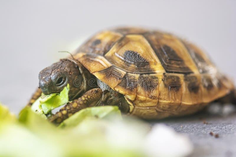 Hermann ` s Tortoise - hermanni Testudo στοκ φωτογραφία