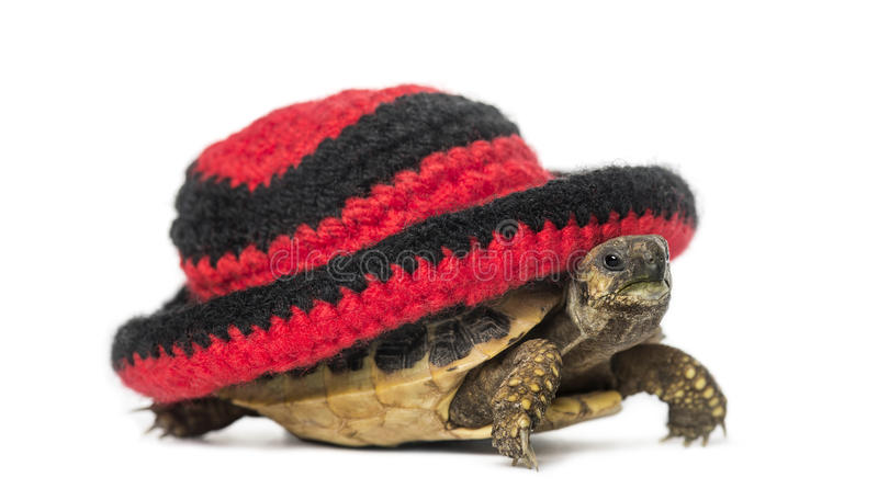 Hermann's tortoise, isolated royalty free stock photo
