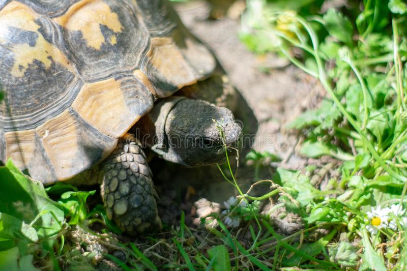 Hermann tortoise taking a stroll in green grass on sunny day royalty free stock photography