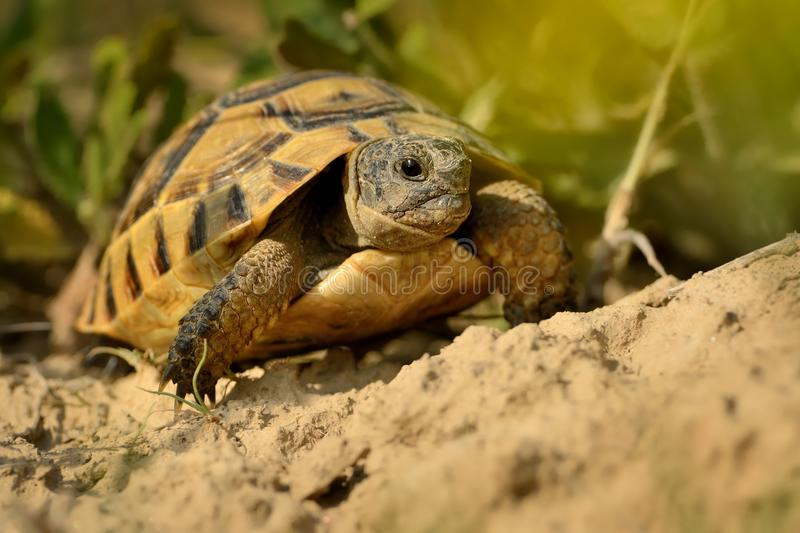 Hermann`s Tortoise - Testudo hermanni royalty free stock photos