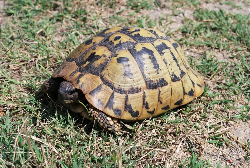 Hermann`s tortoise Testudo hermanni royalty free stock images