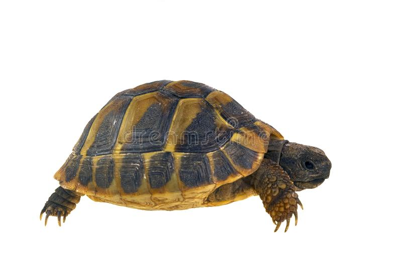 Hermann`s tortoise Testudo hermanni isolated on white background stock image