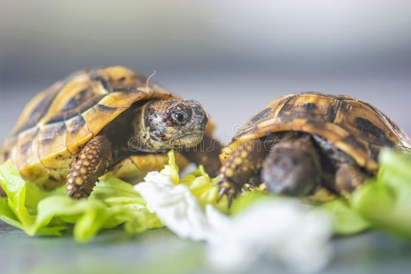 Hermann`s tortoise - Testudo hermanni stock image