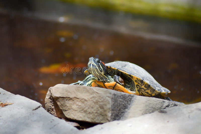 Hermann Tortoise die de onderbreking nemen stock fotografie
