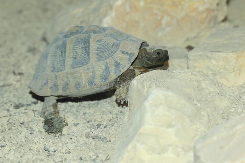 Hermann tortoise stock photo