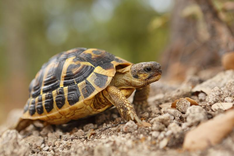 Hermann tortoise, tortule from southern France royalty free stock photos