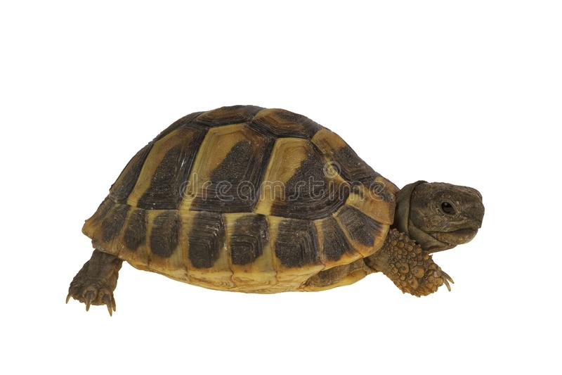 Hermanni de Testudo de la tortue de Hermann d'isolement sur le fond blanc photos stock