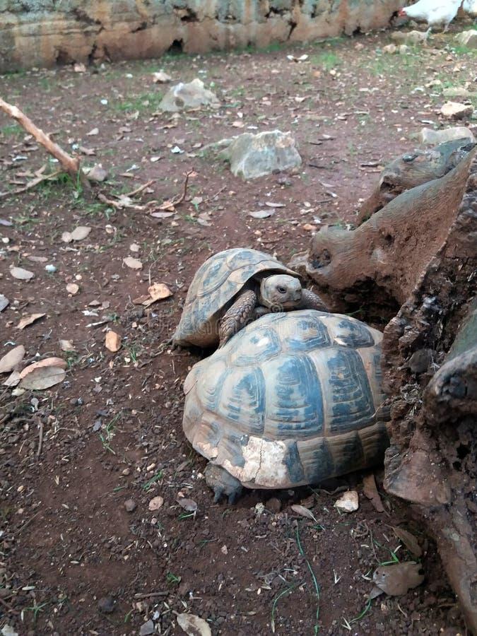 Hermanni del testudo o quello più piccolo e più grande della tartaruga dei hermanns fotografia stock