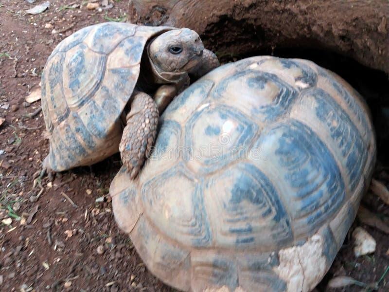 Hermanni del testudo o quello più piccolo e più grande della tartaruga dei hermanns fotografie stock libere da diritti