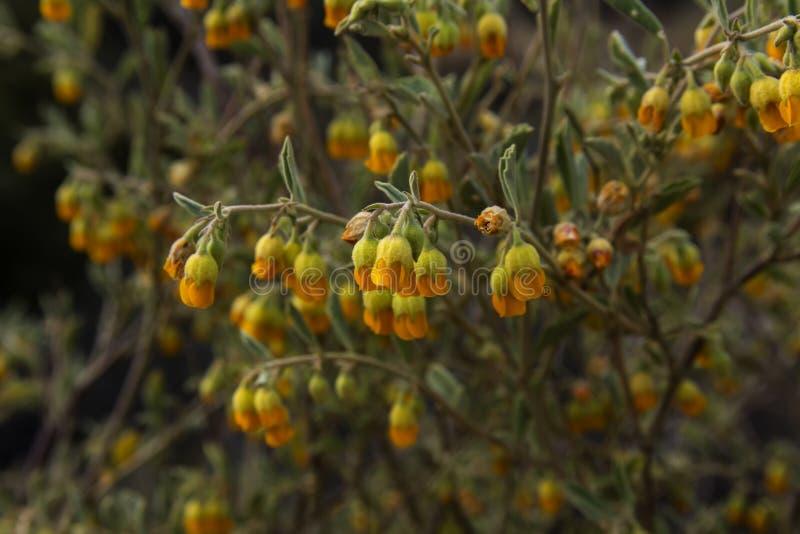 Hermannia cuneifolia yellow fynbos flowers stock photo