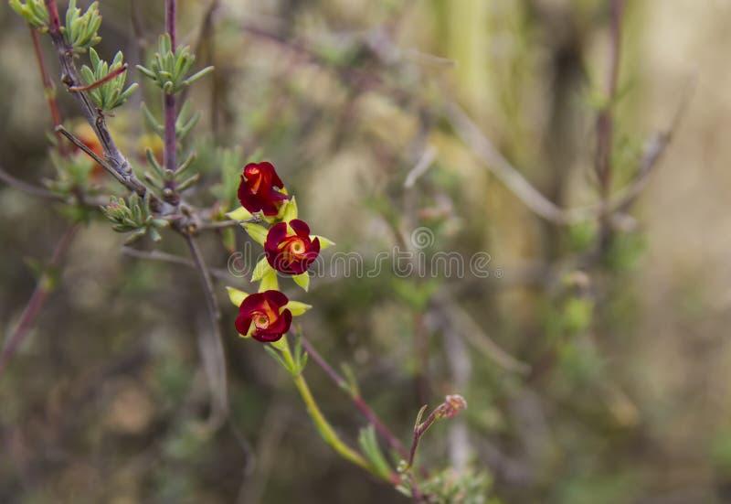 Hermannia filifolia filifolia stock photos