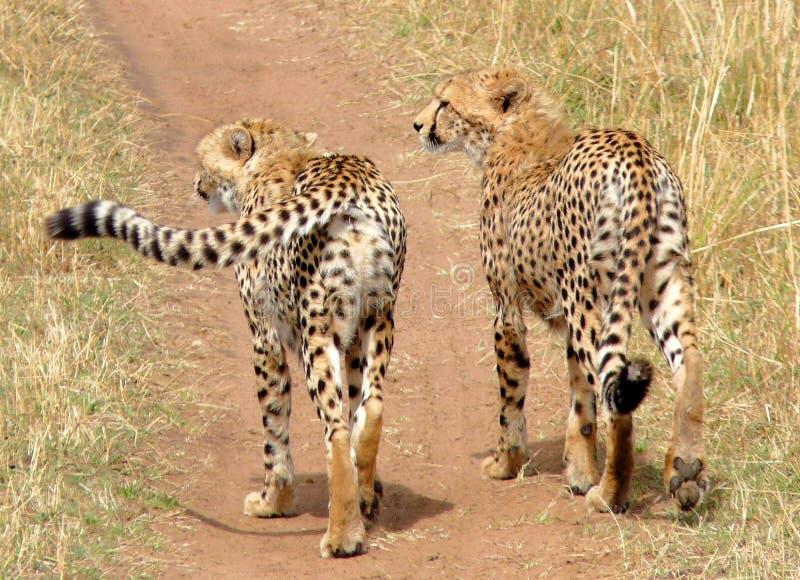 Hermano del guepardo en Masai Mara. imagen de archivo