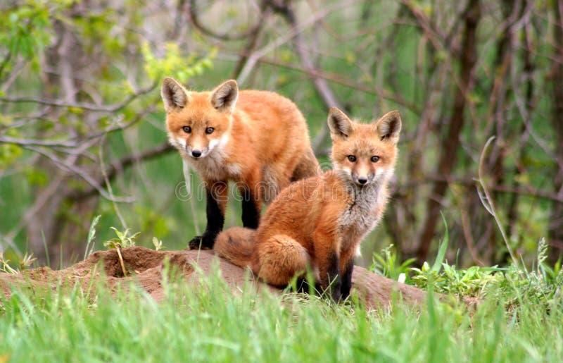 Hermanos del Fox rojo foto de archivo libre de regalías