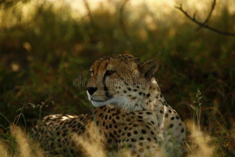 Hermanos del guepardo foto de archivo libre de regalías