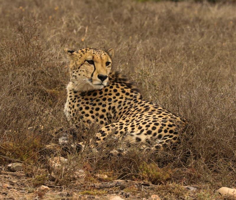 Hermanos del guepardo que miran fijamente intenso la presa distante imagen de archivo libre de regalías