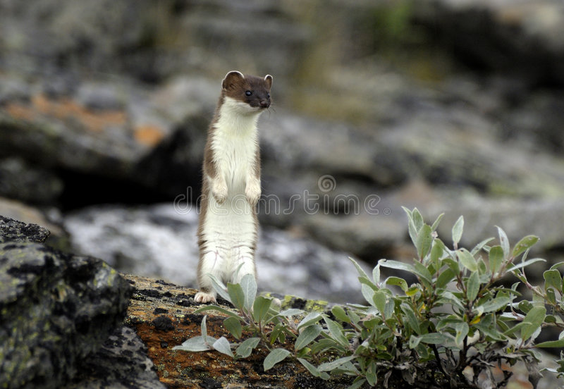 Hermelijn die zich op achterste benen bevindt stock foto's