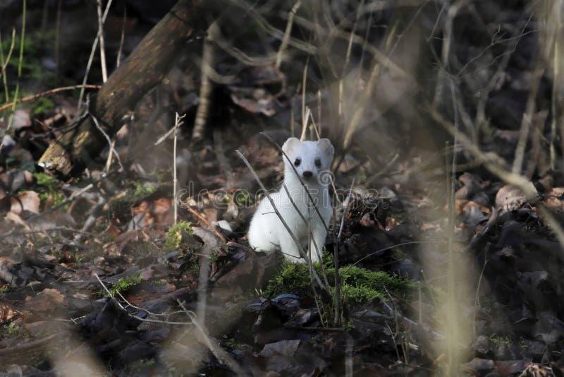 Hermelin Mustela erminea im Winterpelz in einem Wald stockfoto